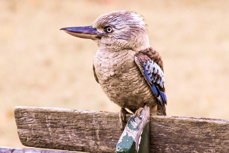 Den Kookaburra, auch Lachvogel genannt, treffen Sie überall auf dem Farmgelände an.