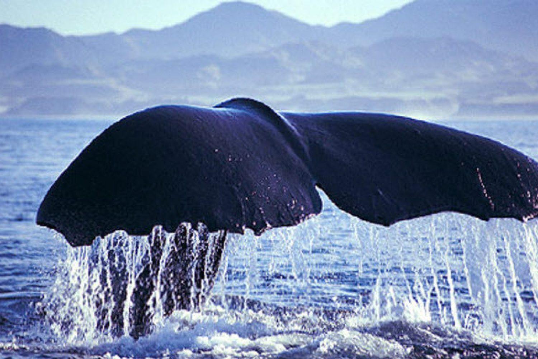Wal an der Küste bei Kaikoura