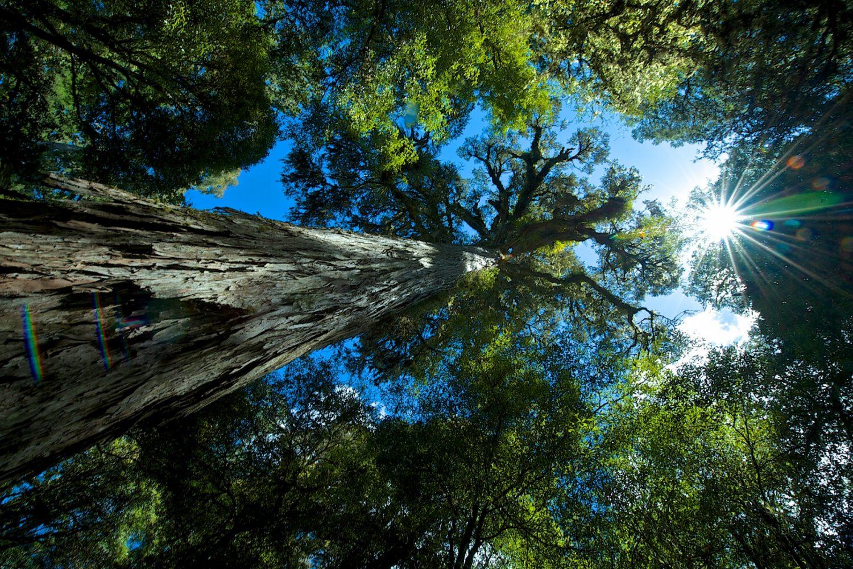 Der urwüchsige Regenwald von Te Urewera in Neuseeland