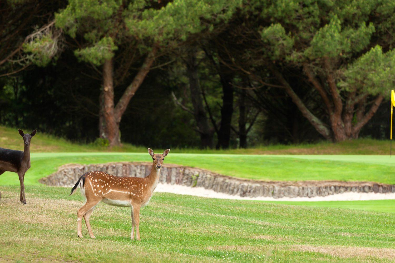 Herten op Wairakei International Golf Course