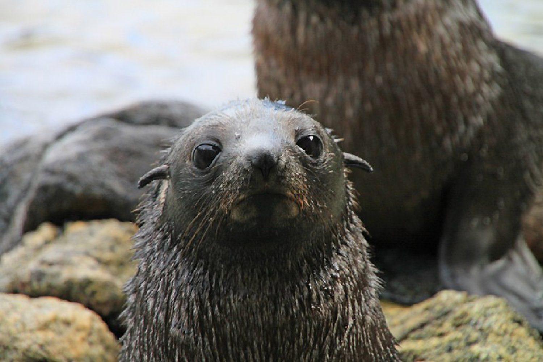 Im Doubtful Sound tummeln sich allerlei interessante Tiere und nicht selten aalen sich Pelzrobben auf Felsvorsprüngen in der Sonne oder gleiten Delfinen sanft durch das tiefe, dunkle Wasser. Mit etwas Glück sehen Sie an diesem Tag auch kleine Pinguine.