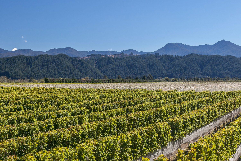 Wijngaard in Marlborough