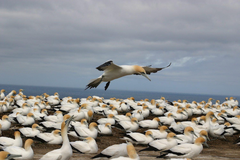 Jan van Gent kolonie in Hawkes Bay